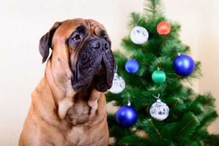 bullmastiff: bullmastiff dog with a Christmas tree portrait close-up