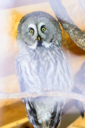 virginianus: one gray owl is sitting Stock Photo