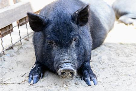 pigpen: black pig have a rest on the farm Stock Photo