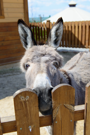 nostrils: grey donkey looking at the camera in farm