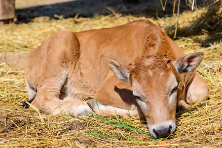 nostrils: red calf in farm Stock Photo