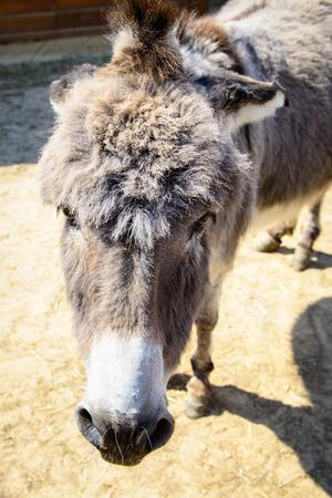 nostrils: grey donkey looking at the camera