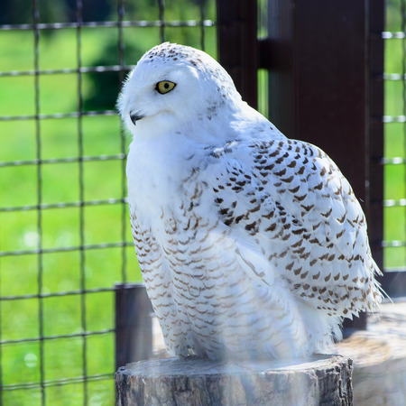 virginianus: one white owl is sitting Stock Photo