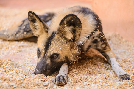 nocturnal: African Cape hunting dog at the zoo