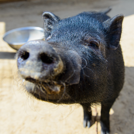 pigpen: Black pig with funne nose in the farm