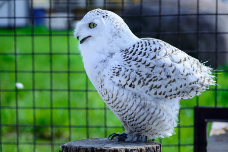 virginianus: One white owl is sitting