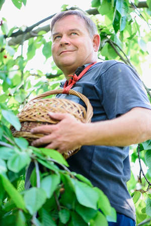 harvests: adult man with a basket near tree in the garden harvests Stock Photo