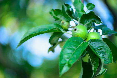 immature: photo of immature young green apples fruits on the branches of apple trees