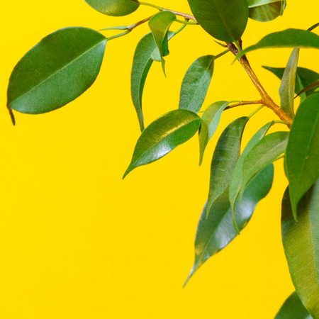 Green ficus tree isolated on yellow background Stock Photo