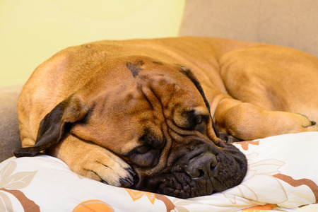 Junior bullmastiff dog lying on the sofa and resting close-up Stock Photo