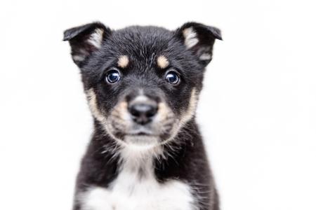 pet portrait theme little black and white puppy half-breed