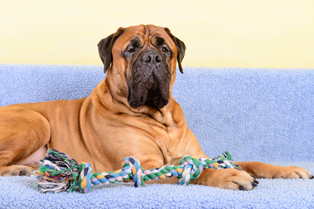 pet bullmastiff dog lying on the sofa and playing with a dog toy
