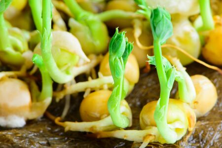 fresh microgreens seeds young pea sprouts healthy eating vegan diet close-up Фото со стока