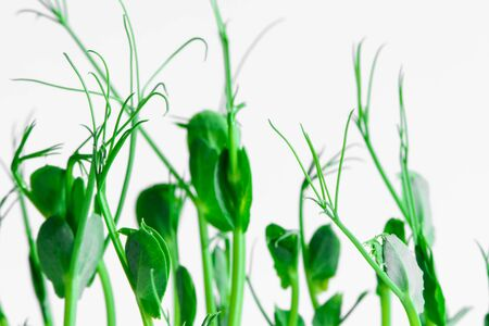 fresh microgreens seeds young pea sprouts healthy eating vegan diet isolated on white background