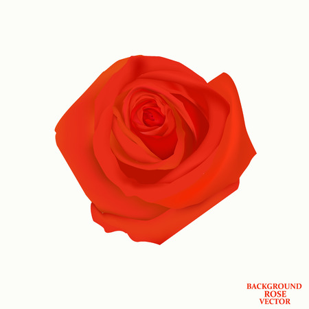 Background with rose isolated.
