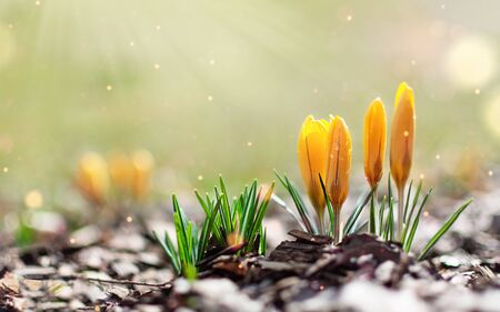Yellow spring crocuses in the early morning outdoor. Spring flowers with dew in damp grass with light bokeh. Spring background.