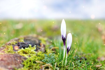 White spring crocuses in the early morning outdoor. Spring flowers with dew in damp grass with light bokeh. Spring background.