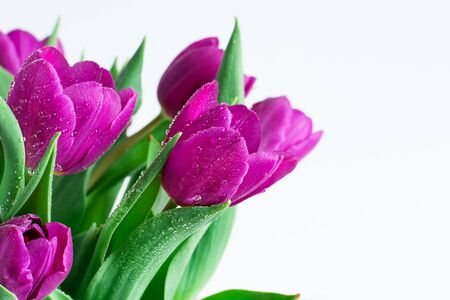 Bouquet of spring purple tulips with bright water drops on white wooden background closeup. Spring background. Holiday greeting card. Copy space.
