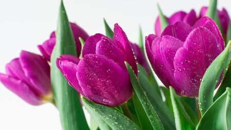Bouquet of spring purple tulips with bright water drops on white wooden background closeup. Spring background. Holiday greeting card. Banco de Imagens