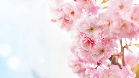 Background of spring pink japan cherry blossoms tree. Springtime background.