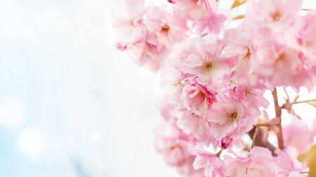 Fond d'arbre de fleurs de cerisier du Japon rose de printemps. Fond de printemps.