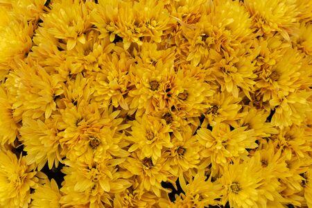 Yellow chrysanthemum flower background. Flower texture.