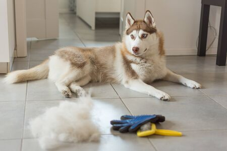 Siberian husky lies on floor in pile of his fur and dog comb. Concept annual molt, coat shedding, moulting dogs. Brush for dog fur care.