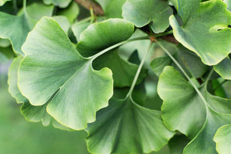 Ginkgo biloba green leaves on tree. Gingo leaves background. Alternative medicine.