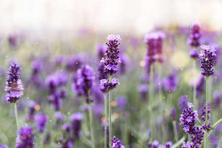 Lavender flowers at sunlight. Lavender field wallpaper. Stock fotó