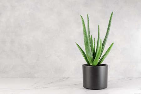 Aloe Vera in a flowerpot on table over grey wall background. Aloe vera houseplant for alternative beauty and medicine treatment. Stock fotó