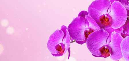 Pink orchid flower banner. Beautiful orchid flower over pink background with bokeh. Stock fotó