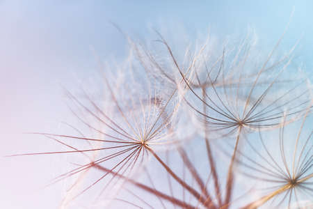 Abstract dandelion blowball background. Macrophotography of fluffy dandelion seeds.