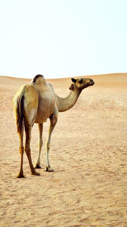 fata morgana: Camel In The Desert
