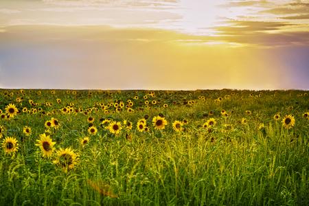 Zonsondergang over het gebied van zonnebloemen tegen een bewolkte hemel. Mooi zomerlandschap. Stockfoto
