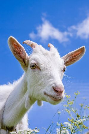 Cute goat with big yellow eyes and long eyelashes among meadow grasses on deep blue sky background