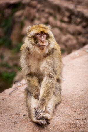 Cute barbary macaque magot sitting and looking into your eyes