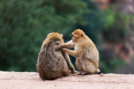 Two cute barbary macaques magot look for fleas from each other