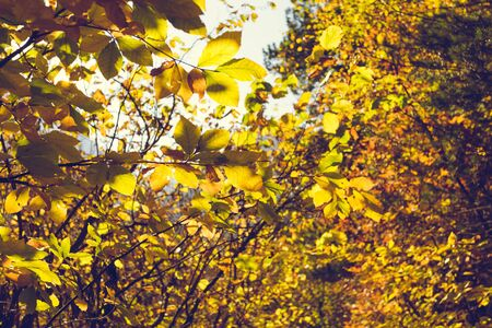 Thick crown of bright yellow autumn leaves. Natural forest background Stock fotó