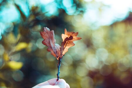 Oak twig with autumn orange leaves in hand. The background with blurred glare of the sun and foliage Foto de archivo