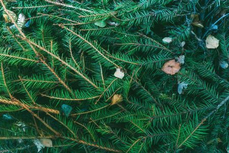 Natural background of fir branches and dry leaves deep green color for Christmas and New Year. Forest texture of evergreen trees