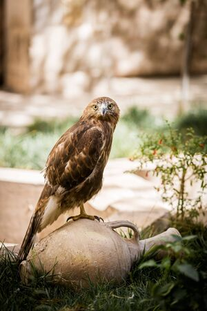 A falcon with yellow eyes sits on a clay jug on a rock background and looks into the camera