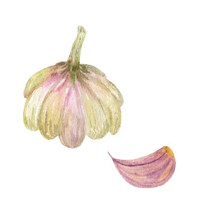Garlic whole and clove watercolor illustration hand-drawn on a white background, isolated. Vegeterian and vegan food illustration