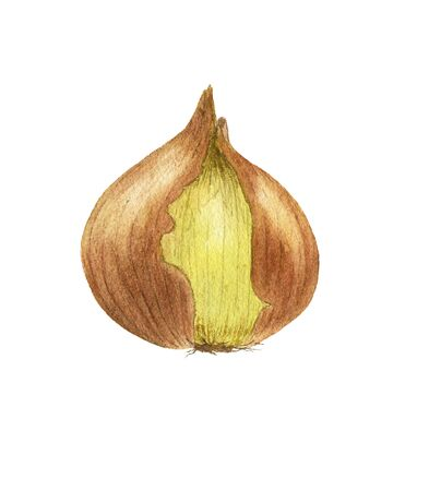 Watercolor textured illustration of onion hand-drawn on a white background isolated. Vegeterian and vegan food illustration Imagens