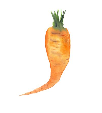 Watercolor realistic illustration of an orange carrot, hand-drawn, on a white background, isolated. Vegeterian and vegan food illustration