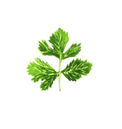 Illustration of a green watercolor parsley sprig, hand-drawn, on a white background, isolated 版權商用圖片
