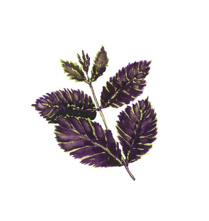 Watercolor illustration of purple basil sprig, hand-drawn, on a white background, isolated Imagens