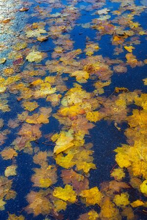 Yellow maple leaves on wet asphalt. Beautiful multi-colored background of autumn leaves. A road strewn with withered leaves Standard-Bild - 133694298
