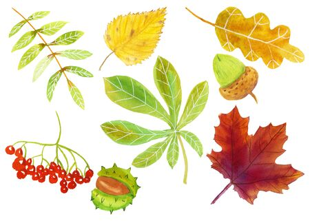 Watercolor autumn set: oak, maple, mountain ash, chestnut, birch leaves, acorn, rowan berries, chestnut fruit in green, yellow, purple, orange, red colors on a white background, hand-drawn isolated Imagens - 133694408