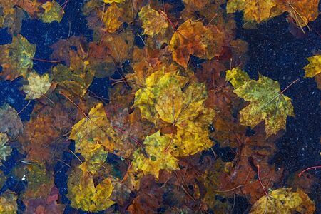 Multi-colored maple leaves on wet asphalt. Beautiful background of autumn leaves. A road strewn with withered leaves Standard-Bild - 133694431