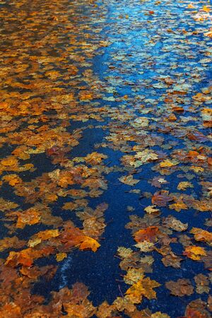 Multi-colored maple leaves on wet asphalt in perspective. Beautiful background of autumn leaves. A road strewn with withered leaves Standard-Bild - 133694432